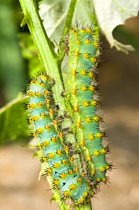 Green late instar caterpillar larvae of the Emperor moth (Saturnia pavoniella) early instar black caterpillars live communally, later they moult, become green, much larger and live singly. Italy  -  Paul Harcourt Davies
