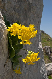 Bear's ear primrose (Primula auricula) flowering on rock face, Apennines, Italy  -  Paul Harcourt Davies