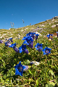 Trumpet gentian (Gentiana dinarica) flowering on limestone scree in the Simbruini Mountains NP, Apennines, Italy.  -  Paul Harcourt Davies