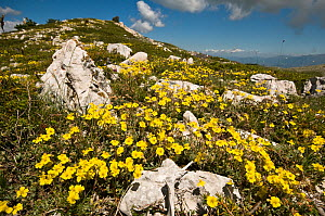 Hoary rockrose (Helianthemum canum) flowering in the Simbruini National Park, limestone mountains in the Appenines, Italy  -  Paul Harcourt Davies