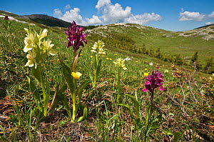 Elderflower orchid (Dactylorhiza sambucina) yellow and magenta colour forms flowering in the Simbruini National Park, limestone mountains in the Appenines, Italy  -  Paul Harcourt Davies