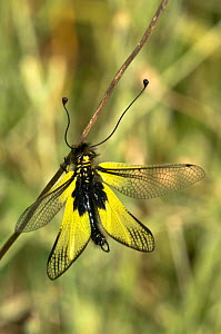 Ascalaphid / Owlfly (Libelloides coccajus) Italy  -  Paul Harcourt Davies