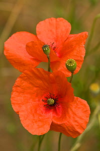 Long-headed poppy (Papaver dubium) Italy - Paul Harcourt Davies