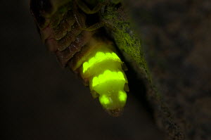 Glow worm (Lampyris noctiluca) female glowing, Italy.  -  Paul Harcourt Davies