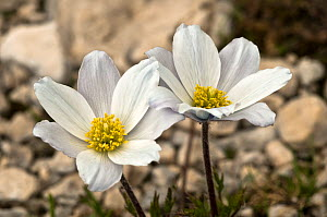 Alpine pasque flowers (Pulsatilla alpina) flowering soon after the snow has melted, Mt Terminillo, Apennines, Italy  -  Paul Harcourt Davies