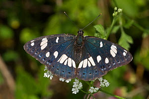 Southern white admiral butterfly (Limenitis reducta) Italy  -  Paul Harcourt Davies