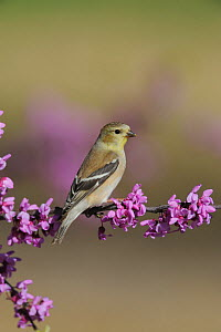 American Goldfinch (Carduelis tristis) perched on flowering Eastern Redbud tree (Cercis canadensis) Dinero, Lake Corpus Christi, South Texas, USA  -  Rolf Nussbaumer