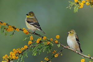American Goldfinches (Carduelis tristis) perched on flowering Huisache tree (Acacia farnesiana) Dinero, Lake Corpus Christi, South Texas, USA  -  Rolf Nussbaumer