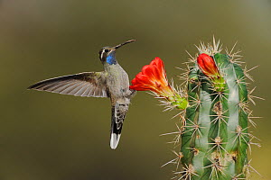 Blue-throated Hummingbird (Lampornis clemenciae) male feeding on flowering Claret Cup Cactus (Echinocereus triglochidiatus) Chisos Basin, Chisos Mountains, Big Bend National Park, Chihuahuan Desert, W...  -  Rolf Nussbaumer
