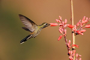 Blue-throated Hummingbird (Lampornis clemenciae) male in flight feeding on Red Yucca (Hesperaloe parviflora) Chisos Basin, Chisos Mountains, Big Bend National Park, Chihuahuan Desert, West Texas, USA  -  Rolf Nussbaumer