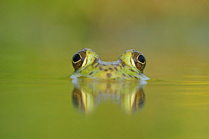 RF- Head portrait of Bullfrog (Rana catesbeiana) partially submerged in lake, Fennessey Ranch, Refugio, Coastal Bend, Texas Coast, USA. (This image may be licensed either as rights managed or royalty... - Rolf Nussbaumer