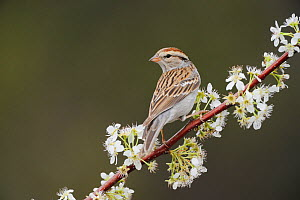Chipping Sparrow (Spizella passerina) perched on blooming Mexican Plum (Prunus mexicana) New Braunfels, San Antonio, Hill Country, Central Texas, USA  -  Rolf Nussbaumer