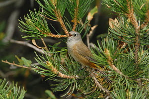 Colima Warbler (Vermivora crissalis) male singing, perched in pine tree. Chisos Mountains, Big Bend National Park, Chihuahuan Desert, West Texas, USA  -  Rolf Nussbaumer