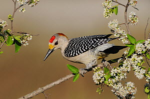Golden-fronted Woodpecker (Melanerpes aurifrons) male, perched on branch with blossom, Sinton, Corpus Christi, Coastal Bend, Texas Coast, USA - Rolf Nussbaumer