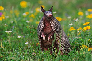 Nine-banded Armadillo (Dasypus novemcinctus) in wildflower meadow standing on hind legs, scent detecting, Fennessey Ranch, Refugio, Coastal Bend, Texas, USA - Rolf Nussbaumer