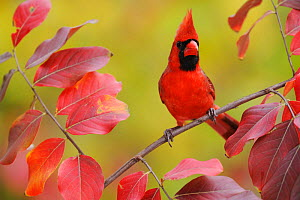 Northern Cardinal (Cardinalis cardinalis) male perched on branch of Crape Myrtle (Lagerstroemia) New Braunfels, San Antonio, Hill Country, Central Texas, USA - Rolf Nussbaumer