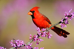 RF- Northern Cardinal (Cardinalis cardinalis) male perched on branch of flowering Eastern Redbud (Cercis canadensis). Dinero, Lake Corpus Christi, South Texas, USA. (This image may be licensed either...  -  Rolf Nussbaumer