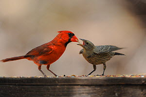 Northern Cardinal (Cardinalis cardinalis) male feeding young Brown-headed Cowbird (Molothrus ater) New Braunfels, San Antonio, Hill Country, Central Texas, USA  -  Rolf Nussbaumer