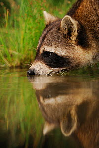 Northern Raccoon (Procyon lotor) drinking from wetland lake with reflections. Fennessey Ranch, Refugio, Coastal Bend, Texas Coast, USA - Rolf Nussbaumer