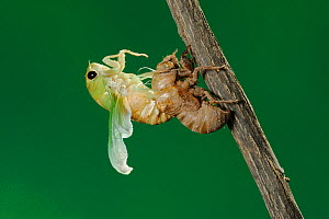 Superb Green Cicada (Tibicen superba) adult emerging from nymph skin, New Braunfels, San Antonio, Hill Country, Central Texas, USA (Sequence 16/25) - Rolf Nussbaumer