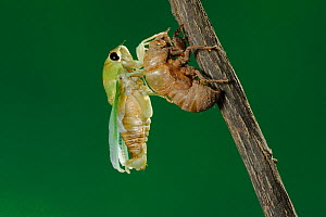 Superb Green Cicada (Tibicen superba) adult emerging from nymph skin, New Braunfels, San Antonio, Hill Country, Central Texas, USA (Sequence 19/25) - Rolf Nussbaumer