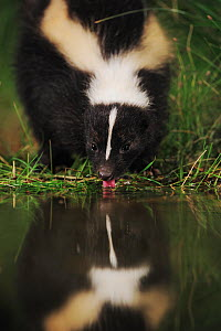 Striped Skunk (Mephitis mephitis) drinking from wetland lake at night, Fennessey Ranch, Refugio, Coastal Bend, Texas, USA - Rolf Nussbaumer