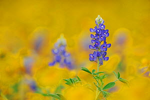 Texas Bluebonnet (Lupinus texensis) flowering in wildflower field, Fennessey Ranch, Refugio, Coastal Bend, Texas Coast, USA - Rolf Nussbaumer