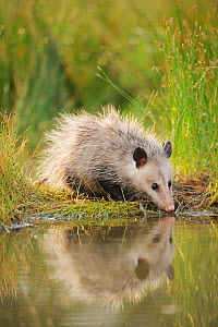 Virginia Opossum (Didelphis virginiana) juvenile drinking from wetland lake, Fennessey Ranch, Refugio, Coastal Bend, Texas Coast, USA - Rolf Nussbaumer