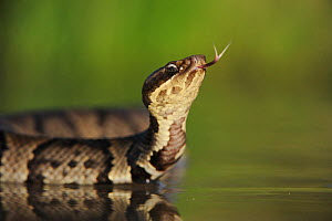 Western Cottonmouth snake (Agkistrodon piscivorus leucostoma) on lake flicking tongue. Fennessey Ranch, Refugio, Coastal Bend, Texas Coast, USA  -  Rolf Nussbaumer