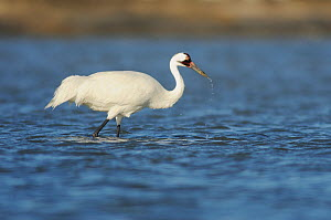 RF- Whooping Crane (Grus americana) wading in coastal waters. Seadrift, San Antonio Bay, Gulf Intracoastal Waterway, Coastal Bend, Texas Coast, USA. (This image may be licensed either as rights manage... - Rolf Nussbaumer