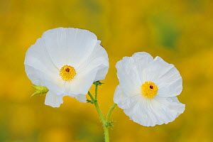 White Prickly Poppy (Argemone albiflora) flowering  in wildflower meadow, Fennessey Ranch, Refugio, Coastal Bend, Texas Coast, USA - Rolf Nussbaumer