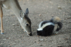 White-tailed Deer (Odocoileus virginianus) with Striped Skunk (Mephitis mephitis) feeding. New Braunfels, San Antonio, Hill Country, Central Texas, USA - Rolf Nussbaumer