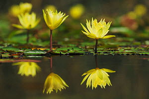 Yellow Waterlily (Nymphaea mexicana) flowers, with reflections, Fennessey Ranch, Refugio, Coastal Bend, Texas, USA - Rolf Nussbaumer
