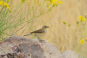 Yellow-rumped Warbler (Dendroica coronata) perched on stone amongst wildflowers, Chisos Basin, Chisos Mountains, Big Bend National Park, Chihuahuan Desert, West Texas, USA  -  Rolf Nussbaumer