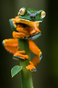 Portrait of Splendid leaf frog (Agalychnis calcarifer) climbing vegetation, Santa Rita, Costa Rica - Bence Mate