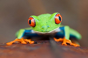 Head portrait of Red-eyed tree frog (Agalychnis callidryas) Santa Rita, Costa Rica - Bence Mate