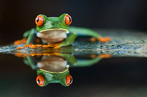 Portrait of Red-eyed tree frog (Agalychnis callidryas) with reflection, Santa Rita, Costa Rica - Bence Mate