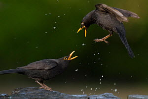 Two male blackbirds ( Turdus merula) fighting, Pusztaszer, Kiskunsagi National Park, Hungary - Bence Mate
