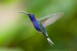 Violet sabrewing (Campylopterus hemileucurus) hovering in flight, Costa Rica  -  Bence Mate