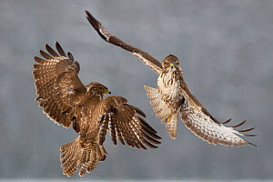 Two Common buzzards (Buteo buteo) attacking each other in flight, Pusztaszer, Kiskunsagi National Park, Hungary - Bence Mate
