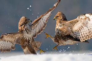 Two Common buzzards (Buteo buteo) attacking each other in snow, Pusztaszer, Kiskunsagi National Park, Hungary - Bence Mate