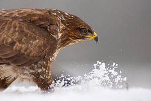 Head portrait of Common buzzard (Buteo buteo) walking in snow, Pusztaszer, Kiskunsagi National Park, Hungary - Bence Mate