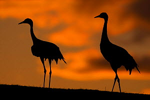 Pair of Eurasian cranes (Grus grus) silhouetted at sunset, Sweden  -  Bence Mate