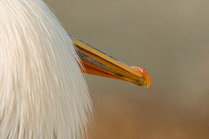 Tip of bill and feathers of Dalmatian pelican (Pelecanus crispus) Danube Delta, Romania - Bence Mate