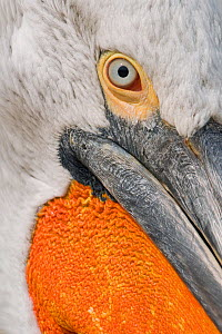 Close up of Dalmatian pelican (Pelecanus crispus) eye and bill, Danube Delta, Romania - Bence Mate
