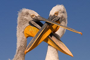 Dalmatian pelican (Pelecanus crispus) chick begging for food from adult, Danube Delta, Romania. - Bence Mate