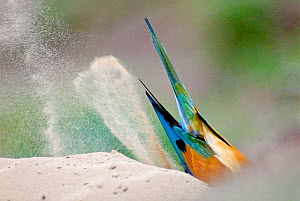 European bee-eater (Merops apiaster) view of tail feathers as it digs in sand, Pusztaszer, Kiskunsagi National Park, Hungary  -  Bence Mate