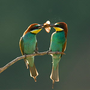 Pair of European bee-eaters (Merops apiaster) with courtship offering of insect prey,  Pusztaszer, Kiskunsagi National Park, Hungary - Bence Mate