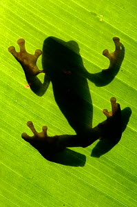 Shadow outline of Splendid leaf frog (Agalychnis calcarifer) through leaf, Santa Rita, Costa Rica  -  Bence Mate