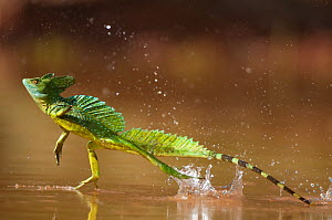 Green / Double-crested basilisk (Basiliscus plumifrons) running across water surface, Santa Rita, Costa Rica. Did you know? This amazing lizard is colloquially known as the 'Jesus Christ lizard' for i...  -  Bence Mate